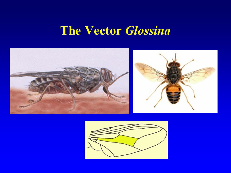 The Vector Glossina