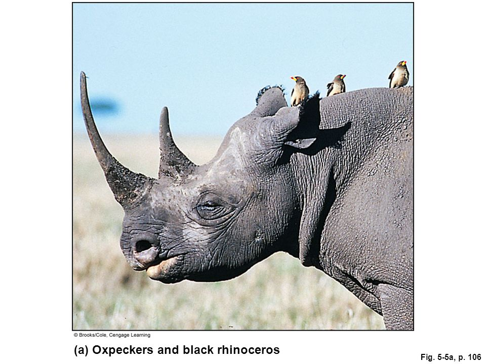 Fig. 5-5a, p. 106 (a) Oxpeckers and black rhinoceros