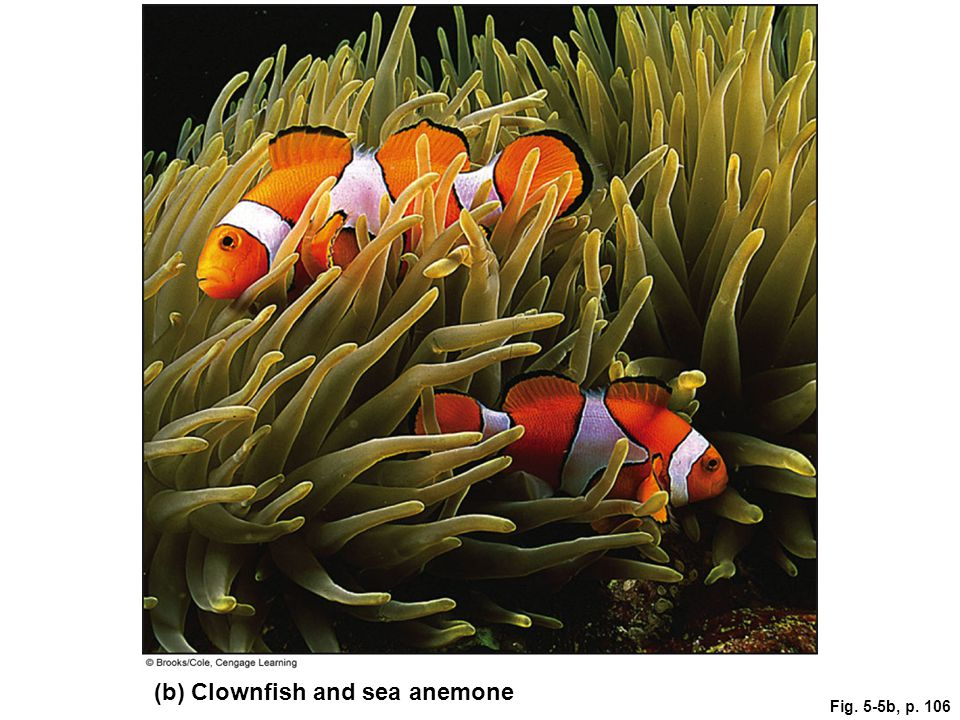 Fig. 5-5b, p. 106 (b) Clownfish and sea anemone