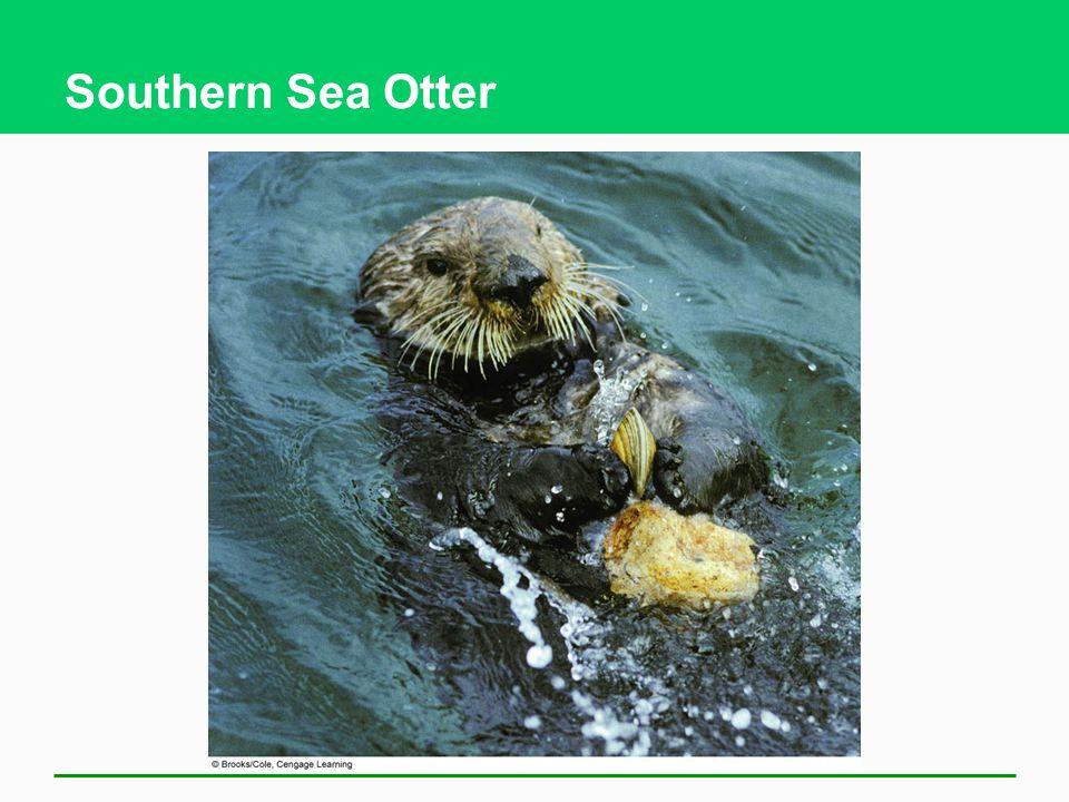 Southern Sea Otter