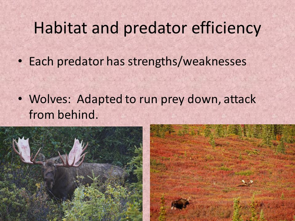 Habitat and predator efficiency Each predator has strengths/weaknesses Wolves: Adapted to run prey down, attack from behind.