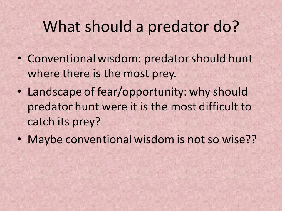 What should a predator do. Conventional wisdom: predator should hunt where there is the most prey.