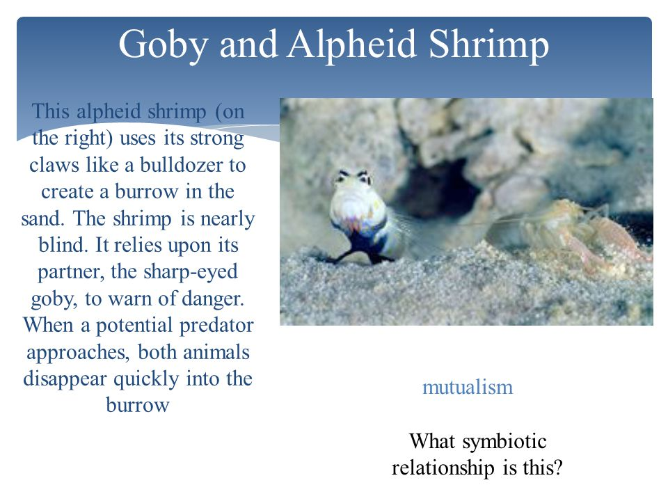 Goby and Alpheid Shrimp What symbiotic relationship is this? mutualism This alpheid shrimp (on the right) uses its strong claws like a bulldozer to cr