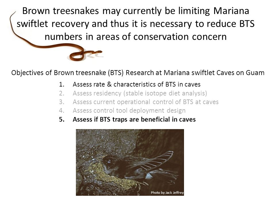 Objectives of Brown treesnake (BTS) Research at Mariana swiftlet Caves on Guam 1.Assess rate & characteristics of BTS in caves 2.Assess residency (stable isotope diet analysis) 3.Assess current operational control of BTS at caves 4.Assess control tool deployment design 5.Assess if BTS traps are beneficial in caves Photo by Jack Jeffrey Brown treesnakes may currently be limiting Mariana swiftlet recovery and thus it is necessary to reduce BTS numbers in areas of conservation concern