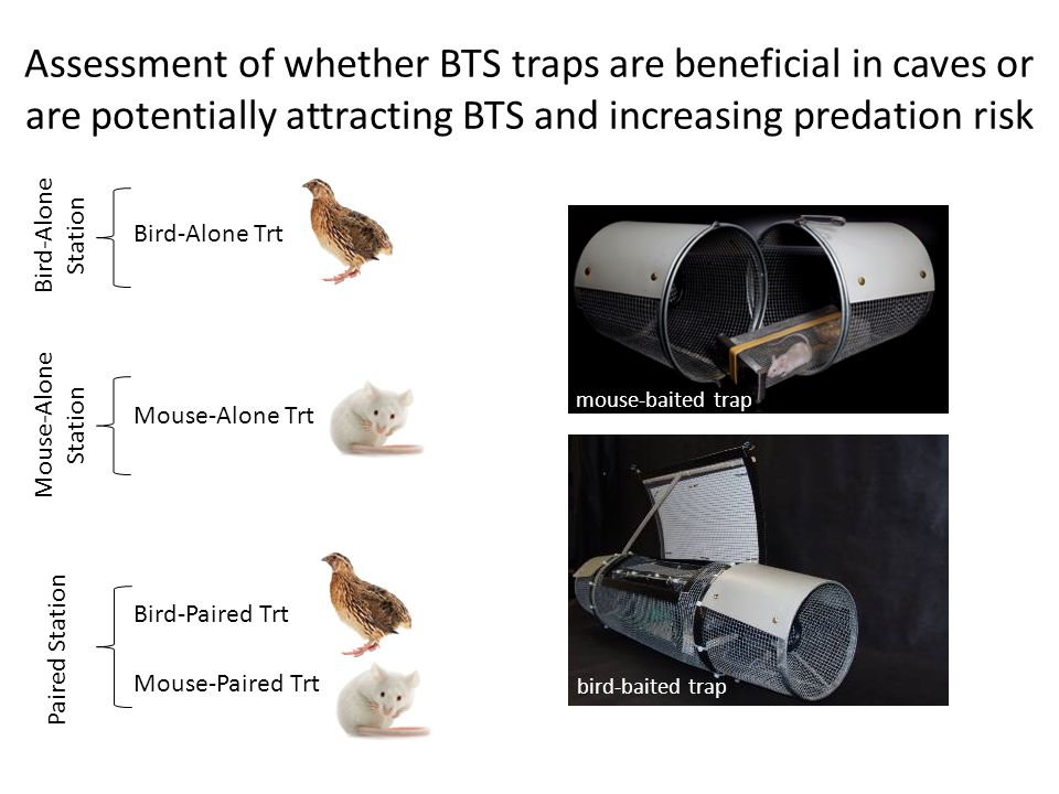 Assessment of whether BTS traps are beneficial in caves or are potentially attracting BTS and increasing predation risk Bird-Alone Trt Mouse-Alone Trt Mouse-Paired Trt Bird-Paired Trt mouse-baited trap bird-baited trap Paired Station Mouse-Alone Station Bird-Alone Station