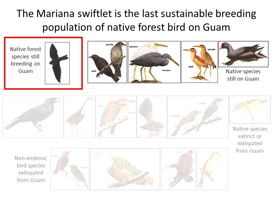 The Mariana swiftlet is the last sustainable breeding population of native forest bird on Guam Native species still on Guam Native species extinct or extirpated from Guam Non-endemic bird species extirpated from Guam Native forest species still breeding on Guam