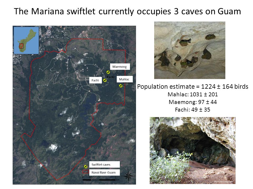 The Mariana swiftlet currently occupies 3 caves on Guam Population estimate = 1224 ± 164 birds Mahlac: 1031 ± 201 Maemong: 97 ± 44 Fachi: 49 ± 35