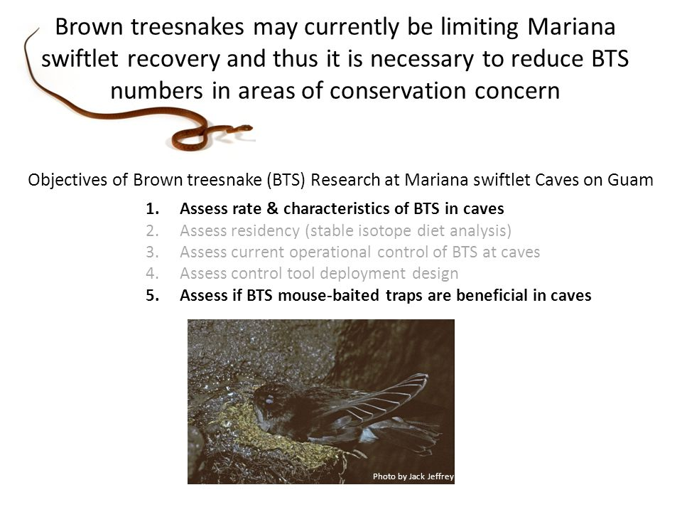 Objectives of Brown treesnake (BTS) Research at Mariana swiftlet Caves on Guam 1.Assess rate & characteristics of BTS in caves 2.Assess residency (stable isotope diet analysis) 3.Assess current operational control of BTS at caves 4.Assess control tool deployment design 5.Assess if BTS mouse-baited traps are beneficial in caves Photo by Jack Jeffrey Brown treesnakes may currently be limiting Mariana swiftlet recovery and thus it is necessary to reduce BTS numbers in areas of conservation concern