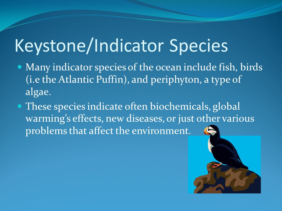 Keystone/Indicator Species Many indicator species of the ocean include fish, birds (i.e the Atlantic Puffin), and periphyton, a type of algae.
