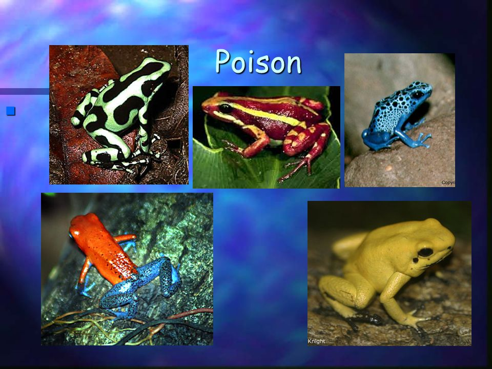 Density Dependent Limiting Factors n Prey – defenses –Poison chemicals –Shells –Poison skins –Camouflage –Behaviors such as mimicry