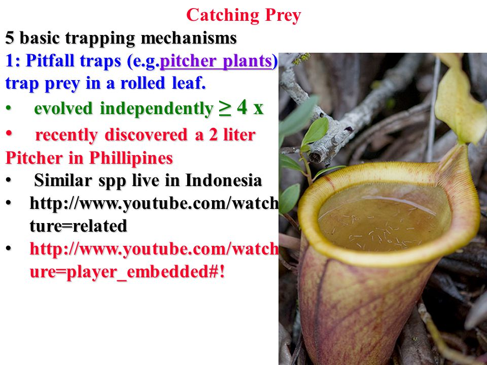 Catching Prey 5 basic trapping mechanisms 1: Pitfall traps (e.g.pitcher plants) pitcher plantspitcher plants trap prey in a rolled leaf.