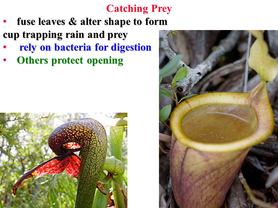 Catching Prey fuse leaves & alter shape to form fuse leaves & alter shape to form cup trapping rain and prey rely on bacteria for digestion rely on bacteria for digestion Others protect opening Others protect opening
