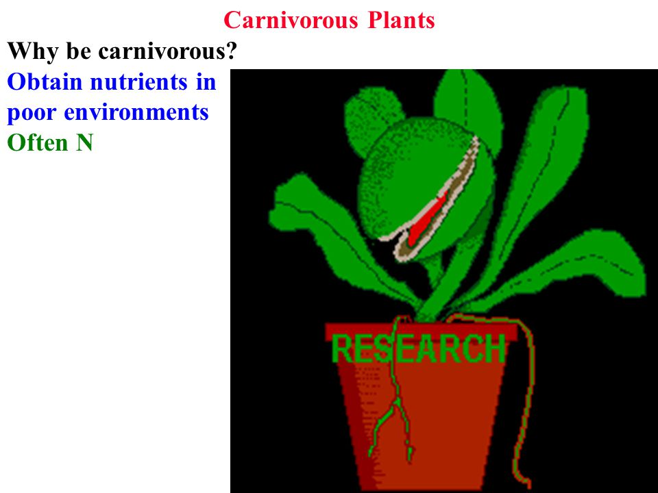 Carnivorous Plants Why be carnivorous Obtain nutrients in poor environments Often N
