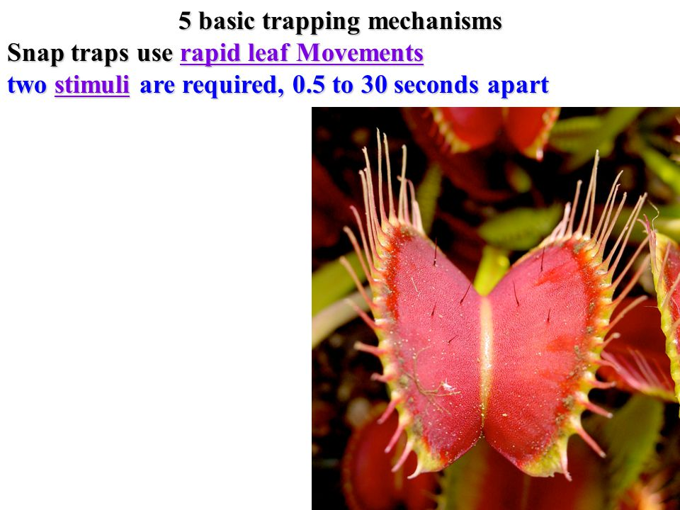 5 basic trapping mechanisms Snap traps use rapid leaf Movements rapid leaf Movementsrapid leaf Movements two stimuli are required, 0.5 to 30 seconds apart stimuli