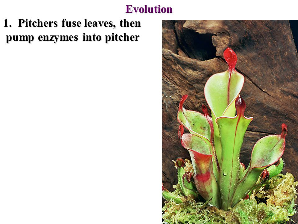 Evolution 1.Pitchers fuse leaves, then pump enzymes into pitcher pump enzymes into pitcher