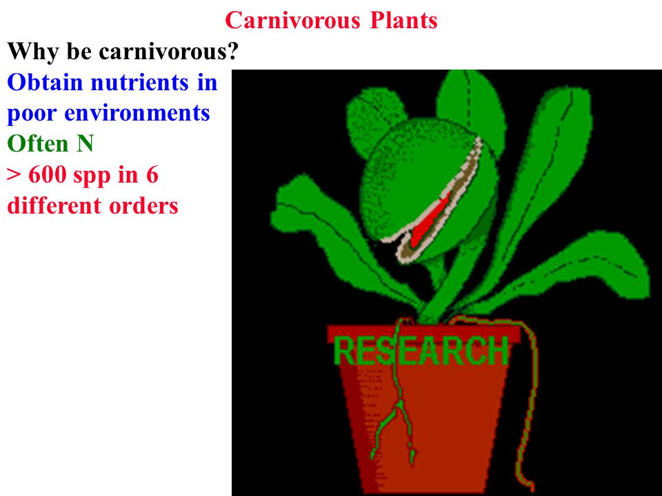 Catching Prey fuse leaves & alter shape to form fuse leaves & alter shape to form cup trapping rain and prey rely on bacteria for digestion rely on bacteria for digestion Others protect opening Others protect opening Add enzymes to cup solution Add enzymes to cup solution