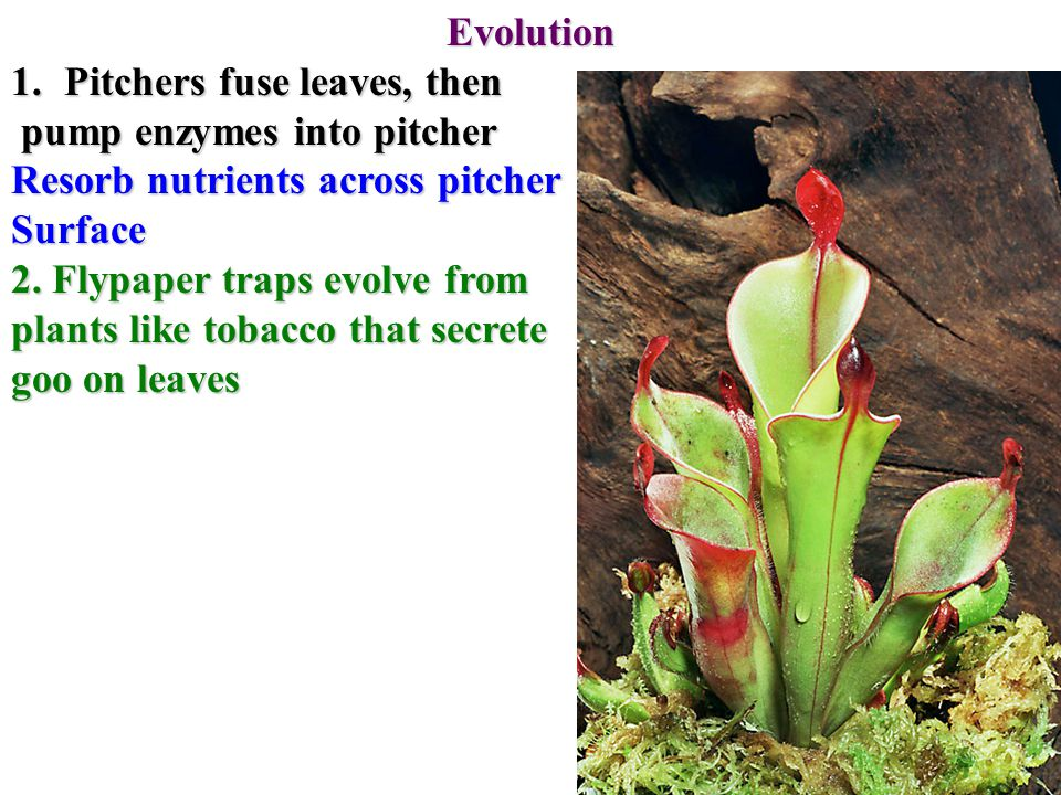 Evolution 1.Pitchers fuse leaves, then pump enzymes into pitcher pump enzymes into pitcher Resorb nutrients across pitcher Surface 2.
