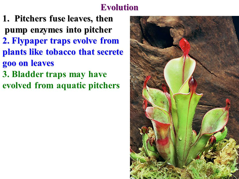 Evolution 1.Pitchers fuse leaves, then pump enzymes into pitcher pump enzymes into pitcher 2.