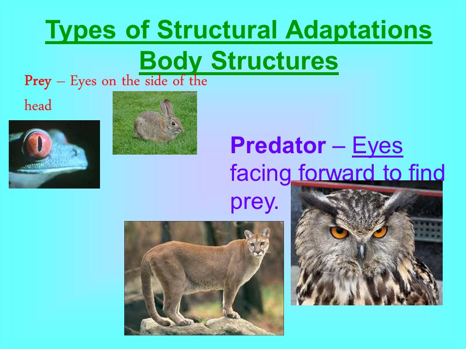 Body Structures Predator – Eyes facing forward to find prey.