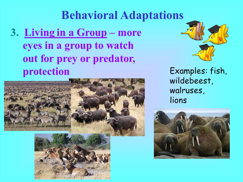 Behavioral Adaptations 3. Living in a Group – more eyes in a group to watch out for prey or predator, protection Examples: fish, wildebeest, walruses,