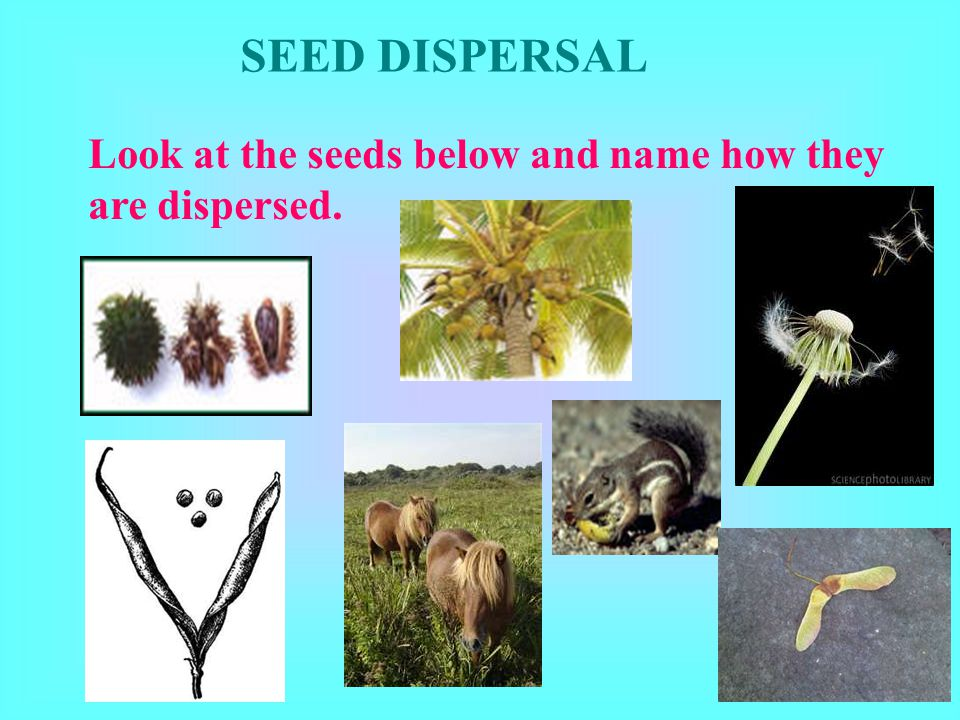 SEED DISPERSAL Look at the seeds below and name how they are dispersed.