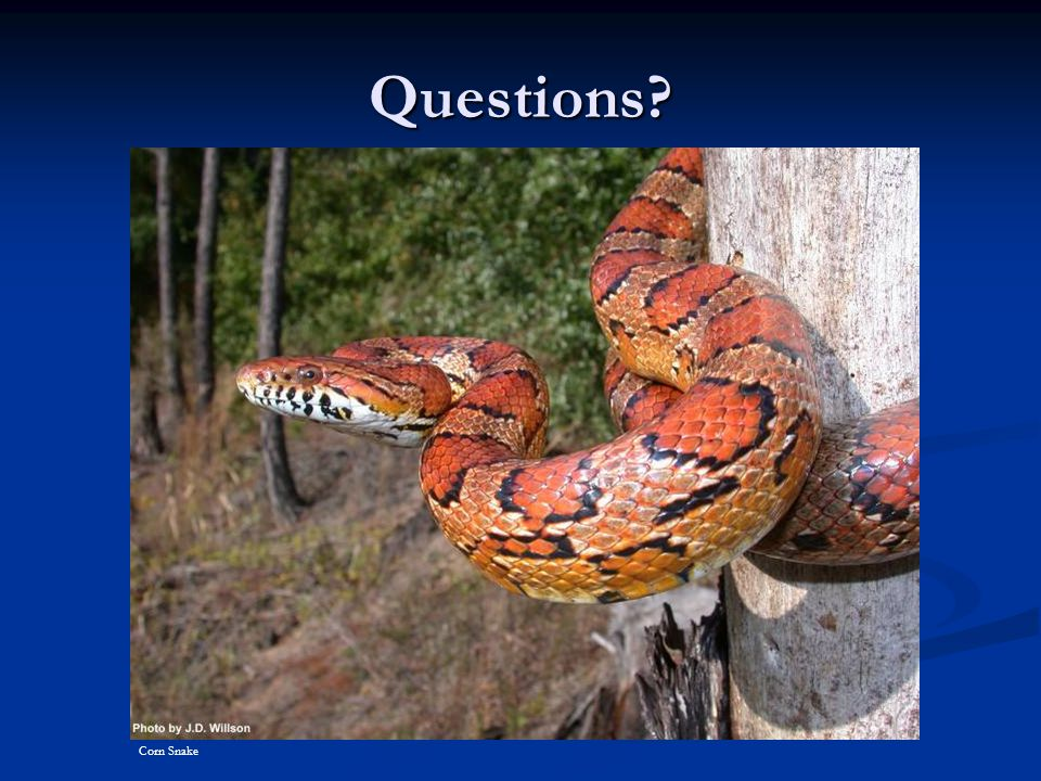 Questions? Corn Snake