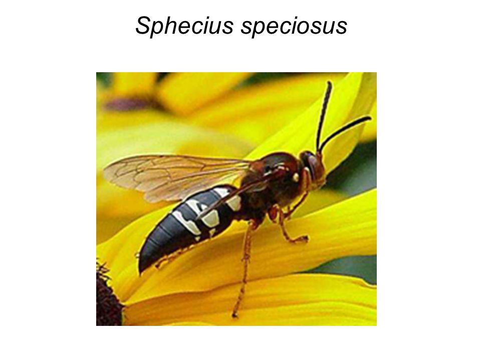 Sphecius speciosus