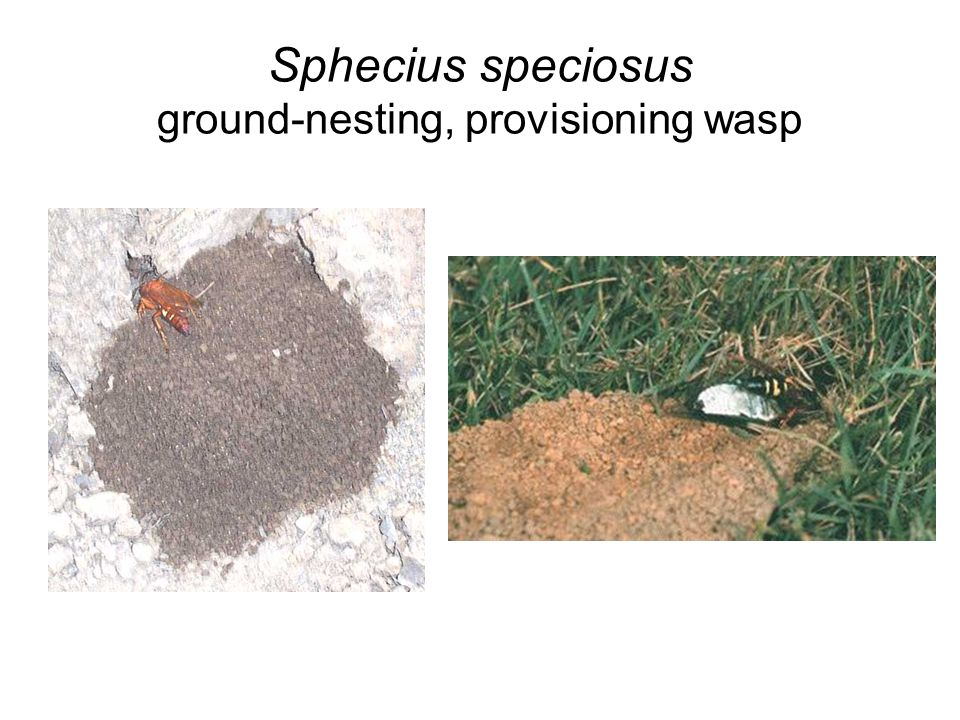 Sphecius speciosus ground-nesting, provisioning wasp