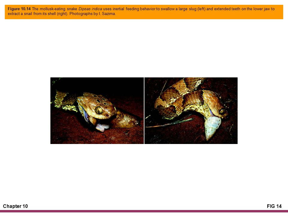Chapter 10FIG 14 Figure 10.14 The mollusk-eating snake Dipsas indica uses inertial feeding behavior to swallow a large slug (left) and extended teeth on the lower jaw to extract a snail from its shell (right).