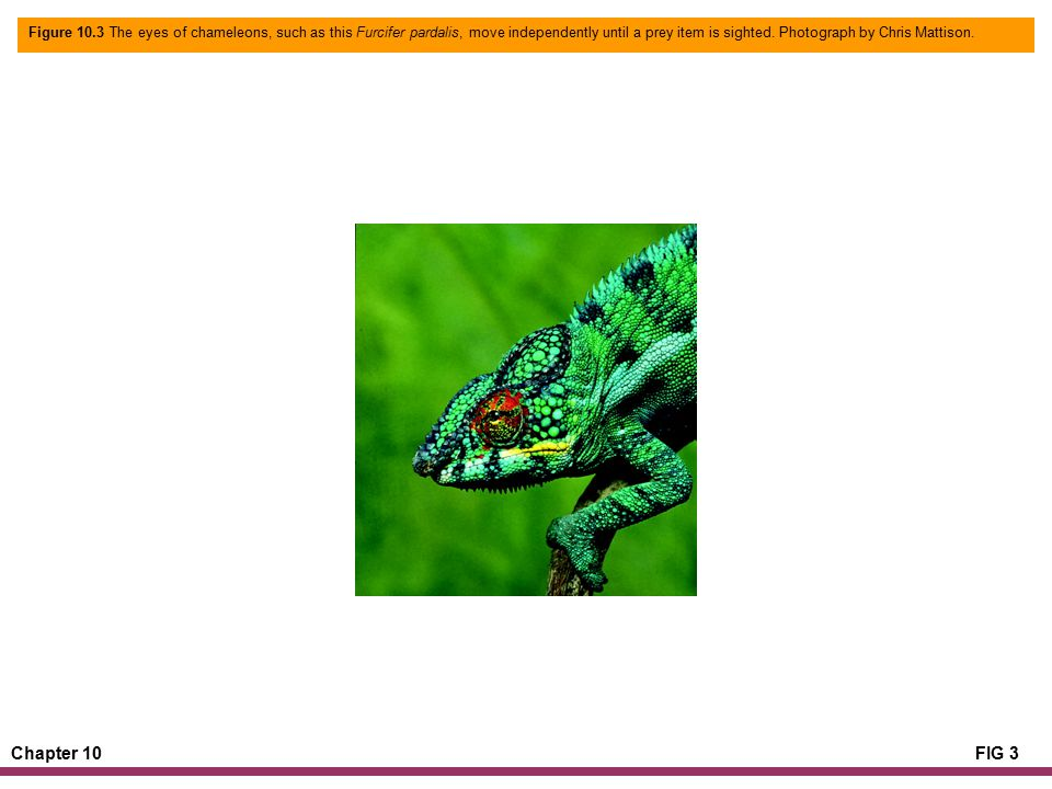 Chapter 10FIG 3 Figure 10.3 The eyes of chameleons, such as this Furcifer pardalis, move independently until a prey item is sighted.
