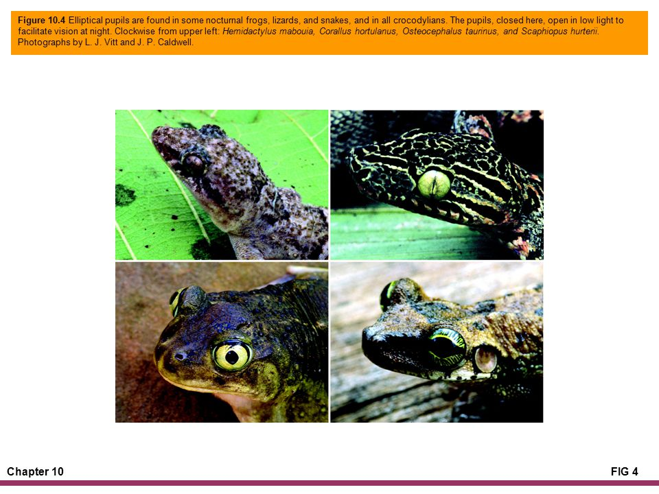 Chapter 10FIG 4 Figure 10.4 Elliptical pupils are found in some nocturnal frogs, lizards, and snakes, and in all crocodylians.