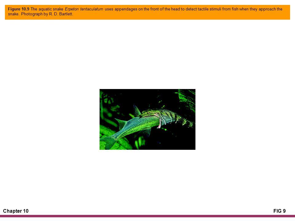 Chapter 10FIG 10 Figure 10.10 The anatomical mechanics of an anuran projectile tongue (Rhinella marina).
