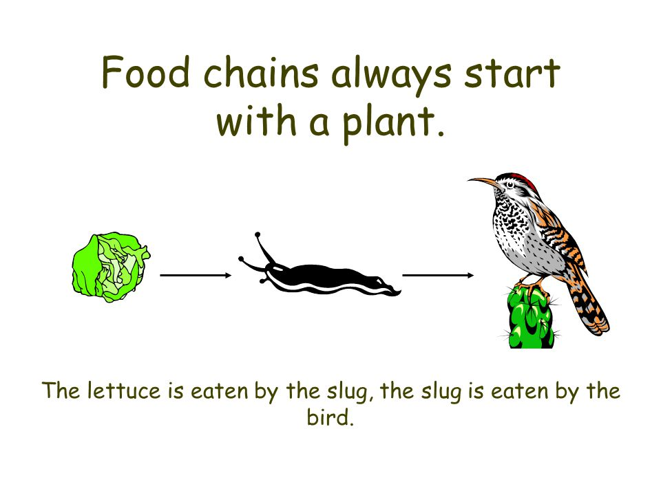 Food chains always start with a plant. The lettuce is eaten by the slug, the slug is eaten by the bird.