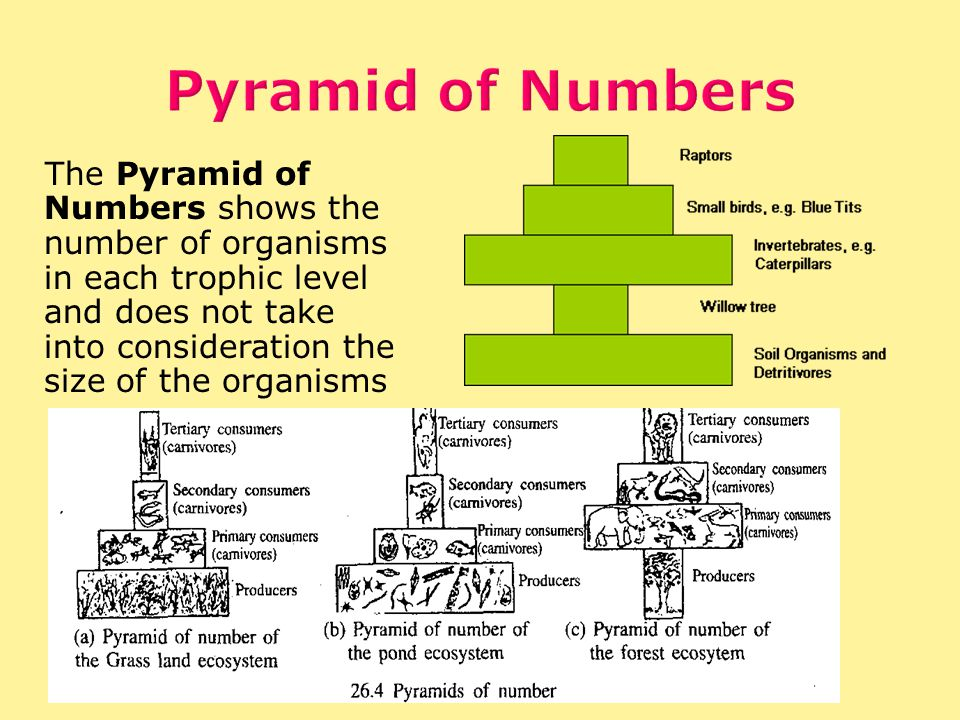 The Pyramid of Numbers shows the number of organisms in each trophic level and does not take into consideration the size of the organisms