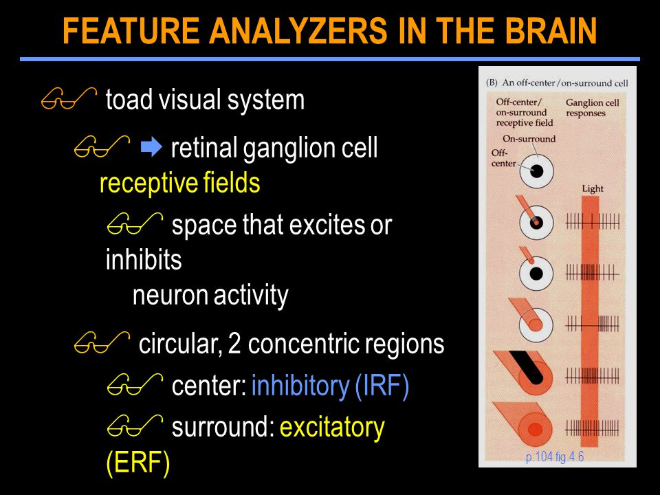 $ toad visual system $  retinal ganglion cell receptive fields $ space that excites or inhibits neuron activity $ circular, 2 concentric regions $ center: inhibitory (IRF) $ surround: excitatory (ERF) p.104 fig.4.6 FEATURE ANALYZERS IN THE BRAIN
