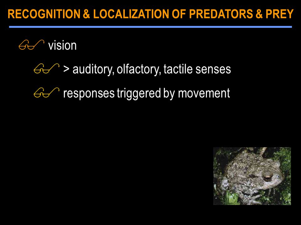 $ vision $ > auditory, olfactory, tactile senses $ responses triggered by movement RECOGNITION & LOCALIZATION OF PREDATORS & PREY