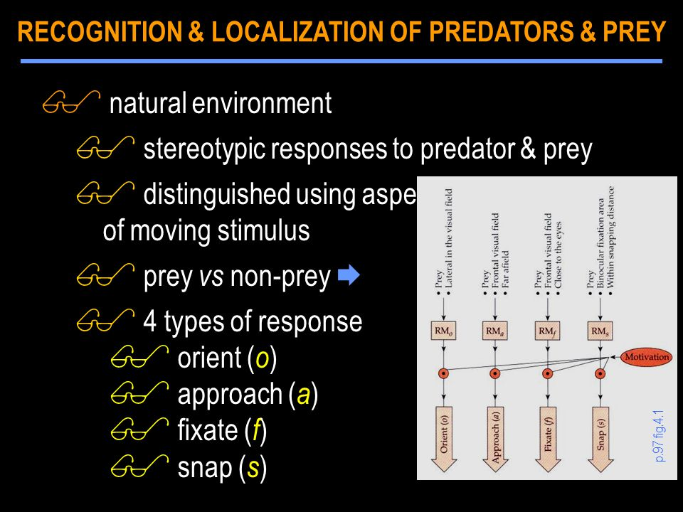 $ natural environment $ stereotypic responses to predator & prey $ distinguished using aspects of moving stimulus $ prey vs non-prey  $ 4 types of response $ orient ( o ) $ approach ( a ) $ fixate ( f ) $ snap ( s ) p.97 fig.4.1 RECOGNITION & LOCALIZATION OF PREDATORS & PREY