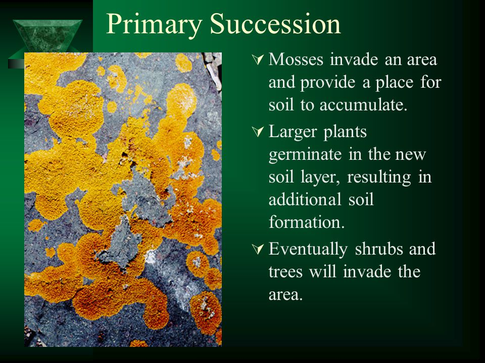 Primary Succession  Mosses invade an area and provide a place for soil to accumulate.  Larger plants germinate in the new soil layer, resulting in a