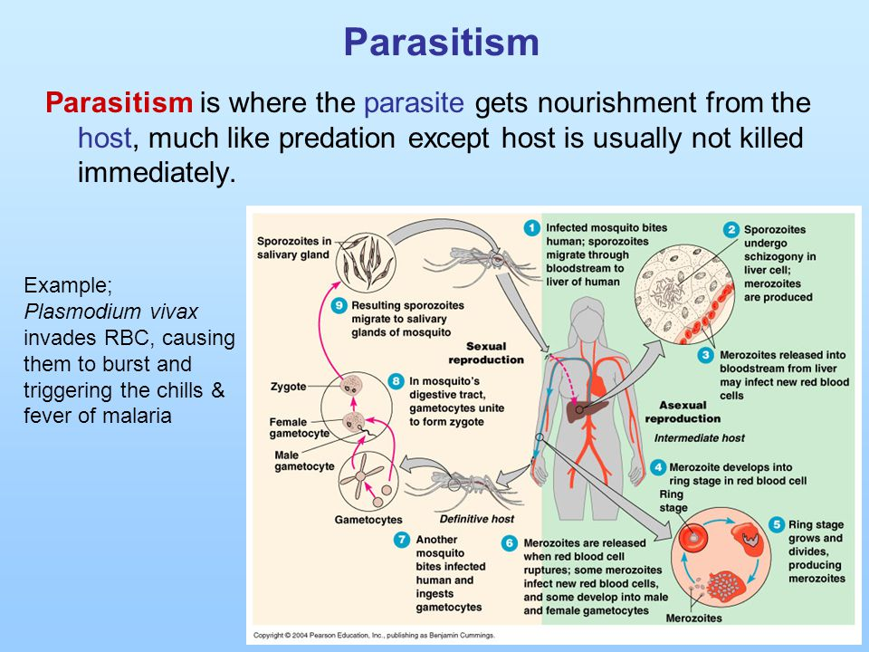 Parasitism Parasitism is where the parasite gets nourishment from the host, much like predation except host is usually not killed immediately. Example