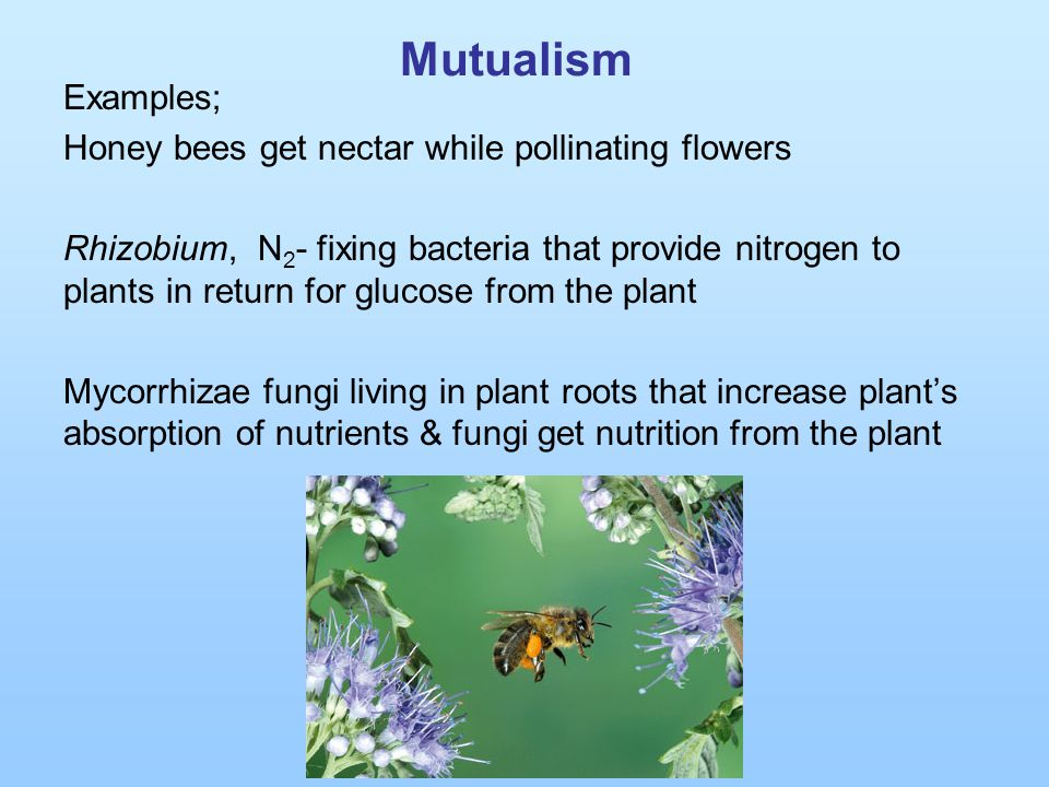 Mutualism Examples; Honey bees get nectar while pollinating flowers Rhizobium, N 2 - fixing bacteria that provide nitrogen to plants in return for glu