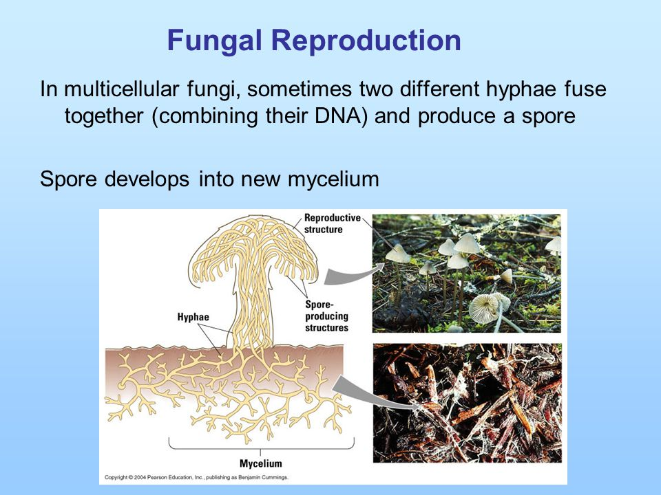 Fungal Reproduction In multicellular fungi, sometimes two different hyphae fuse together (combining their DNA) and produce a spore Spore develops into