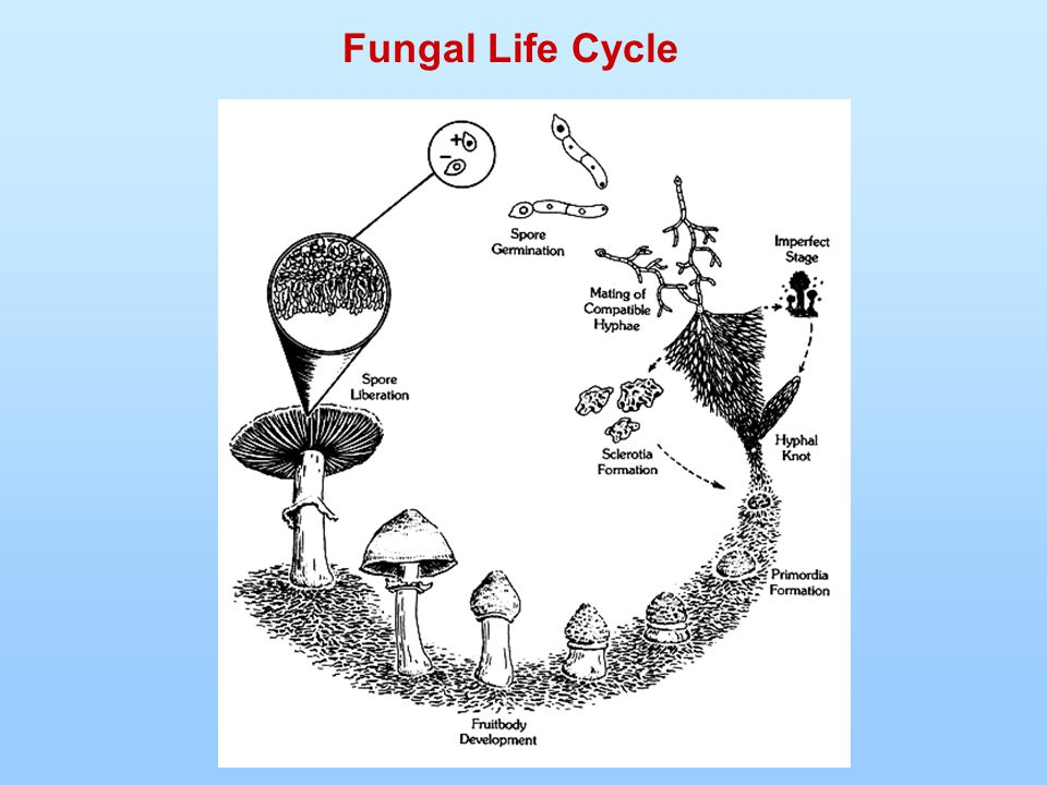 Fungal Life Cycle