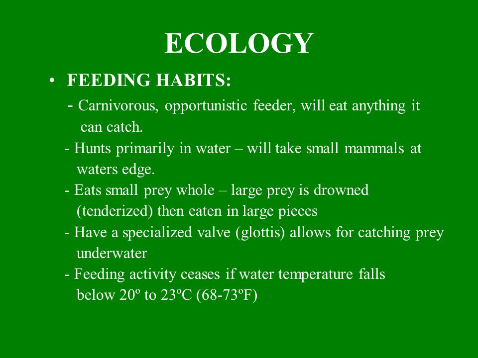 ECOLOGY FEEDING HABITS: - Carnivorous, opportunistic feeder, will eat anything it can catch.