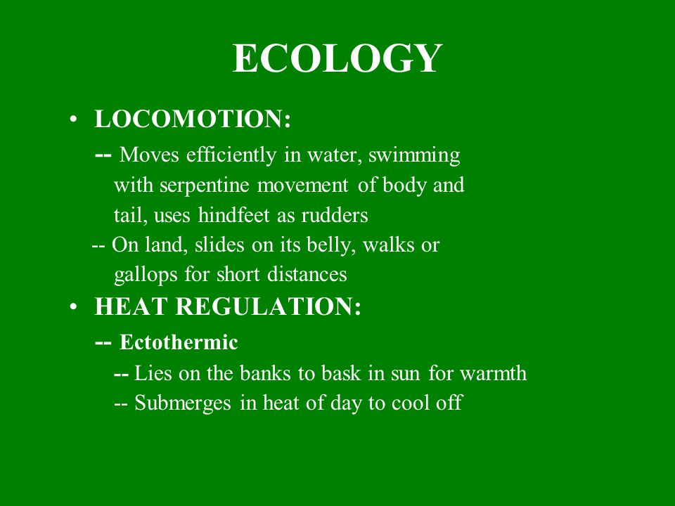 ECOLOGY LOCOMOTION: -- Moves efficiently in water, swimming with serpentine movement of body and tail, uses hindfeet as rudders -- On land, slides on