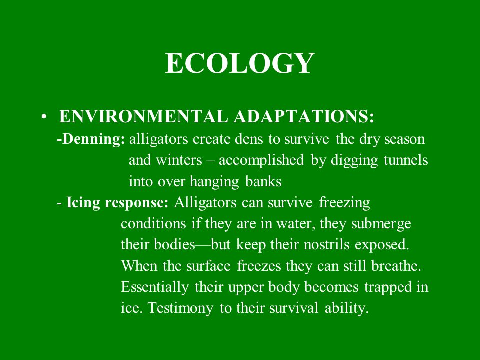 ECOLOGY ENVIRONMENTAL ADAPTATIONS: -Denning: alligators create dens to survive the dry season and winters – accomplished by digging tunnels into over