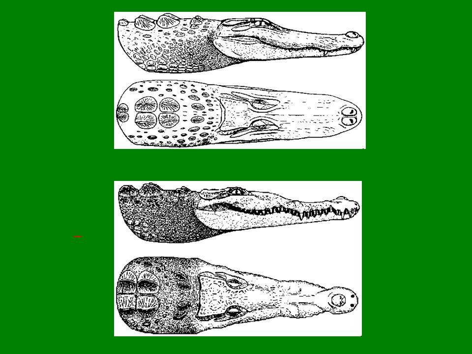 Alligator mississippiensis Crocodylus acutus
