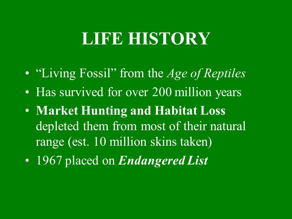 LIFE HISTORY Living Fossil from the Age of Reptiles Has survived for over 200 million years Market Hunting and Habitat Loss depleted them from most of their natural range (est.