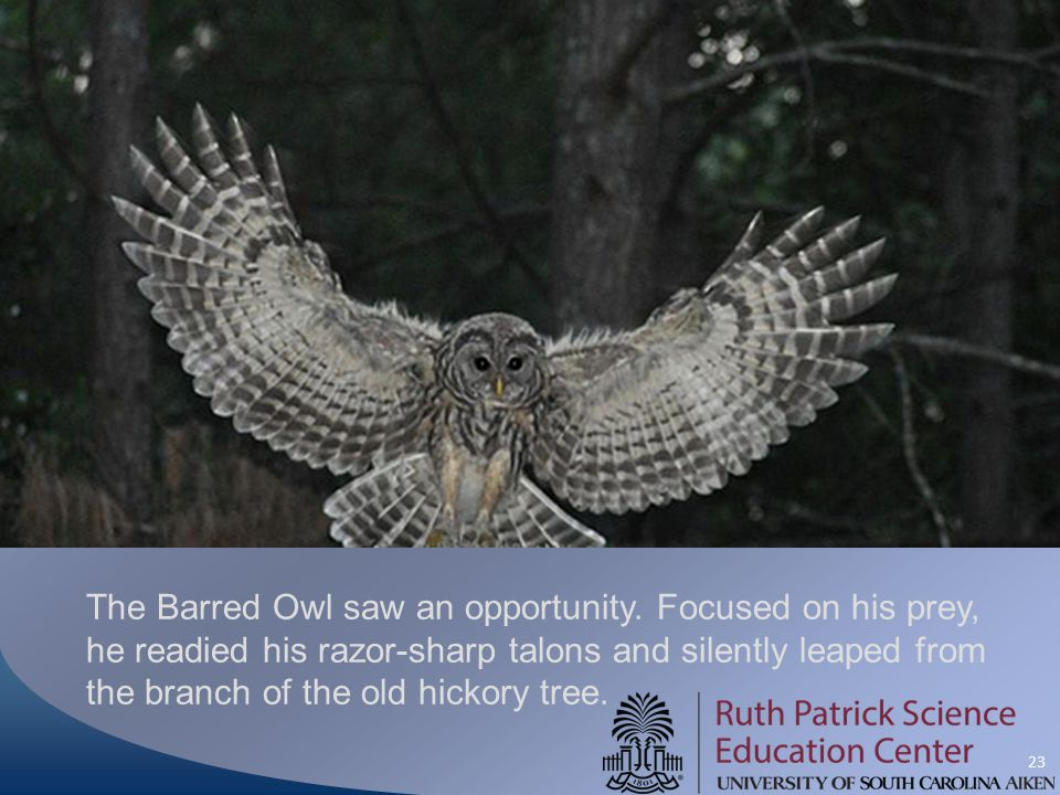 23 The Barred Owl saw an opportunity. Focused on his prey, he readied his razor-sharp talons and silently leaped from the branch of the old hickory tr