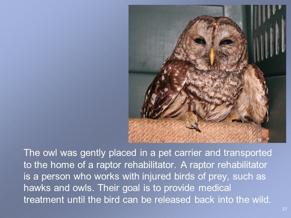 The owl was gently placed in a pet carrier and transported to the home of a raptor rehabilitator. A raptor rehabilitator is a person who works with in