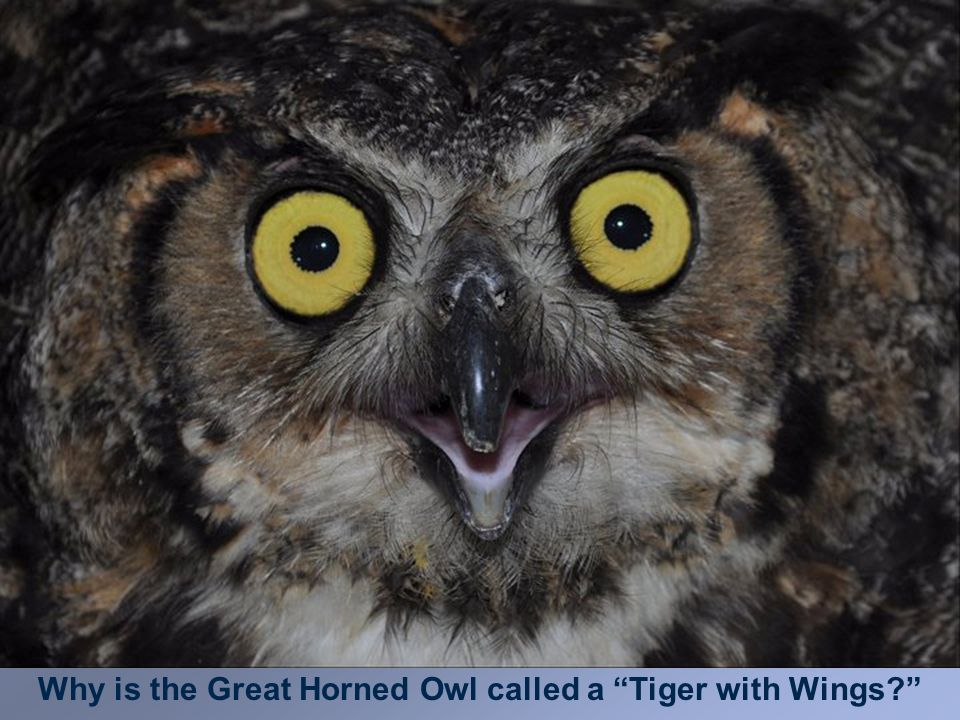 Why is the Great Horned Owl called a Tiger with Wings?